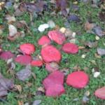 Parklands Poppy Pebbles 4