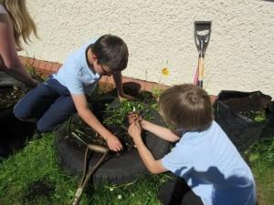 Salen Gardening Diary 2 June 7 2016