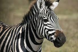 inverse zebra