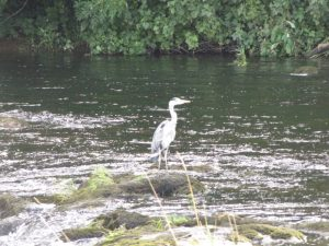 heron waiting