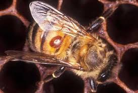 varroa feeding on bee