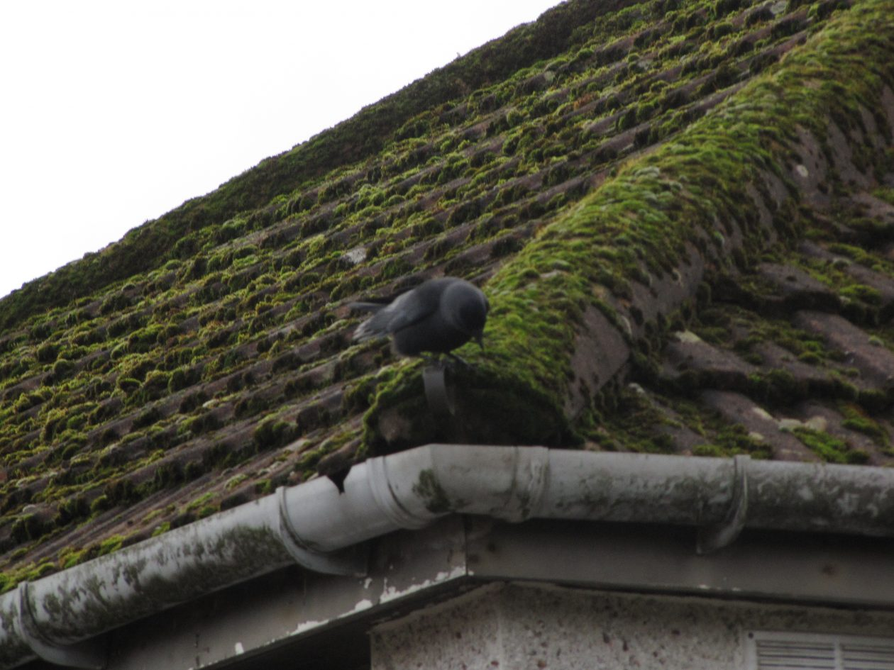 jackdaw_on_roof