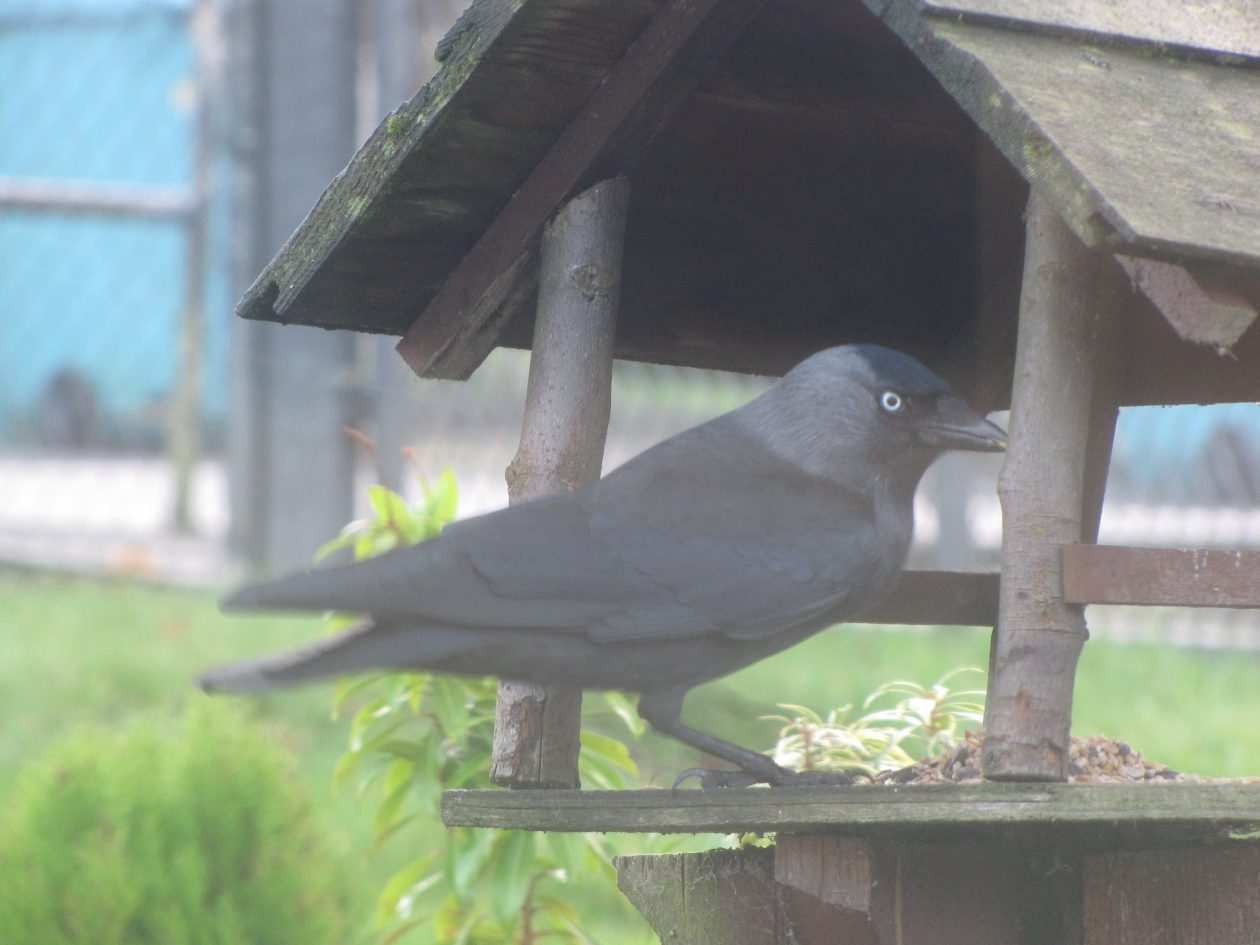 jackdaw_on_table