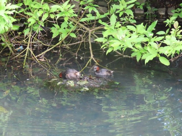 Dab Chick pair making nest: They have a comnnection