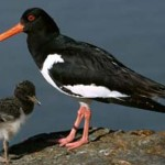oyster-catchers-need-more