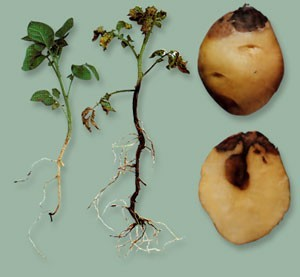 Potato blackleg image