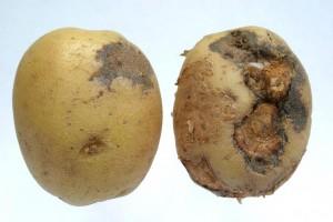 Potato rot image